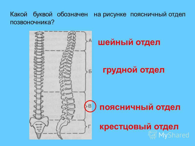 Какой буквой обозначен на рисунке поясничный отдел позвоночника? шейный отдел грудной отдел поясничный отдел крестцовый отдел