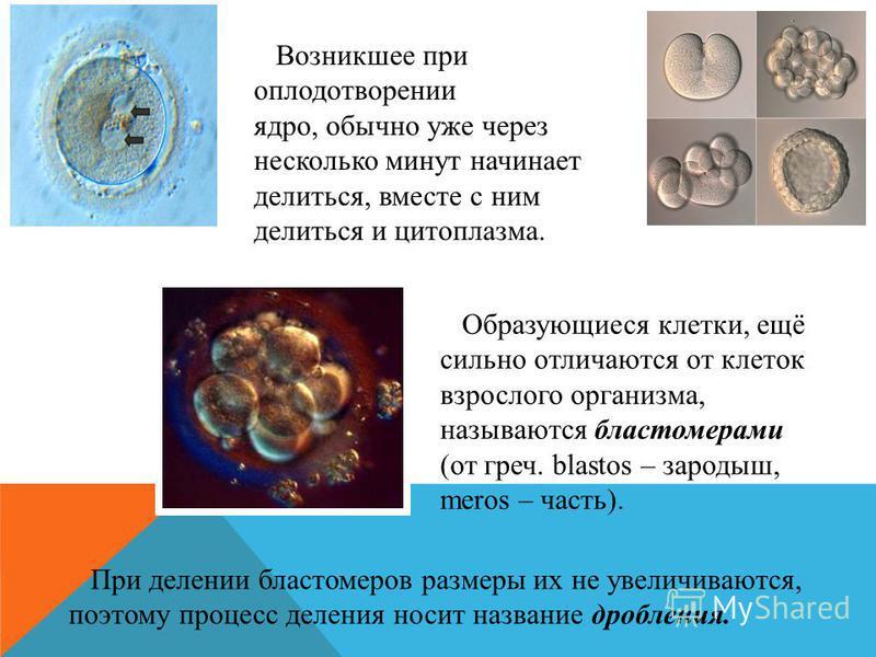 Возникшее при оплодотворении ядро, обычно уже через несколько минут начинает делиться, вместе с ним делиться и цитоплазма. Образующиеся клетки, ещё сильно отличаются от клеток взрослого организма, называются бластомерами (от греч. blastos – зародыш,