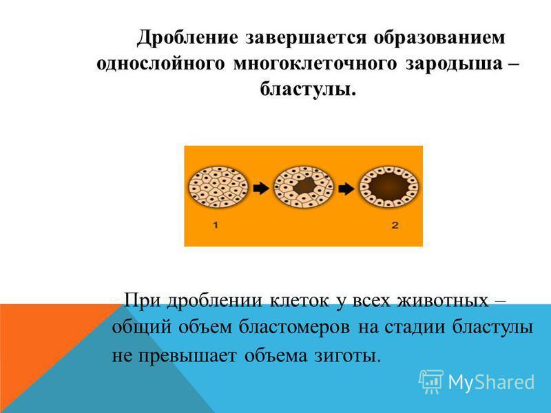 Дробление завершается образованием однослойного многоклеточного зародыша – бластулы. При дроблении клеток у всех животных – общий объем бластомеров на стадии бластулы не превышает объема зиготы.