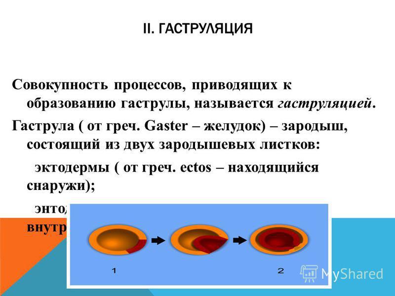 II. ГАСТРУЛЯЦИЯ Совокупность процессов, приводящих к образованию гаструлы, называется гаструляцией. Гаструла ( от греч. Gaster – желудок) – зародыш, состоящий из двух зародышевых листков: эктодермы ( от греч. ectos – находящийся снаружи); энтодермы (