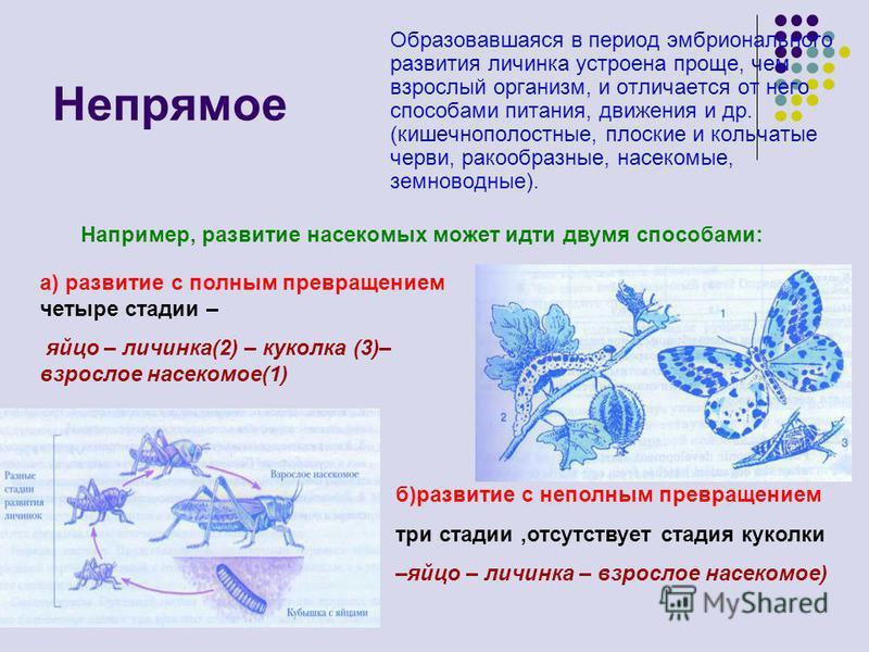 Непрямое Образовавшаяся в период эмбрионального развития личинка устроена проще, чем взрослый организм, и отличается от него способами питания, движения и др. (кишечнополостные, плоские и кольчатые черви, ракообразные, насекомые, земноводные). Наприм