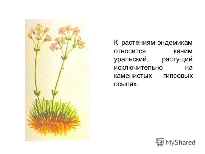 К растениям-эндемикам относится качим уральский, растущий исключительно на каменистых гипсовых осыпях.