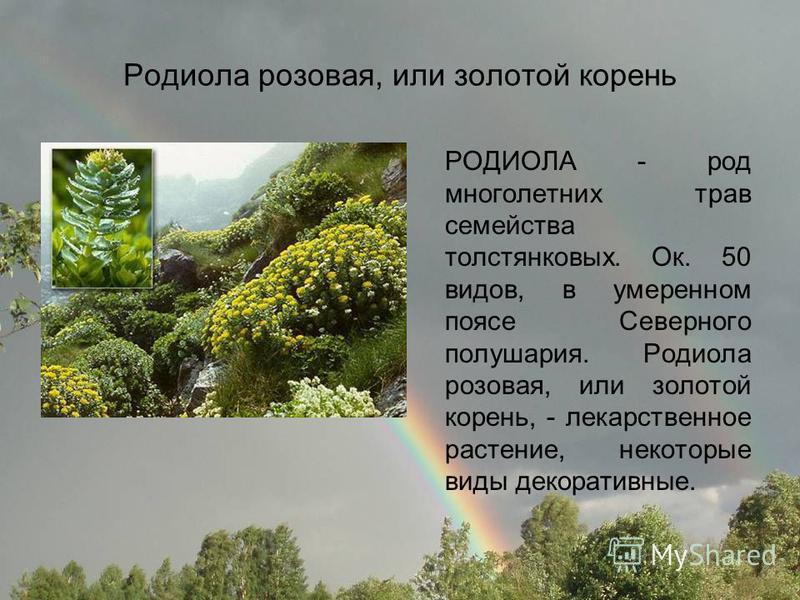 Родиола розовая, или золотой корень РОДИОЛА - род многолетних трав семейства толстянковых. Ок. 50 видов, в умеренном поясе Северного полушария. Родиола розовая, или золотой корень, - лекарственное растение, некоторые виды декоративные.