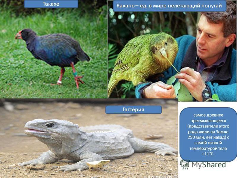 Какапо – ед. в мире нелетающий попугай Такахе самое древнее пресмыкающееся (представители этого рода жили на Земле 250 млн. лет назад) с самой низкой температурой тела +11°С. Гаттерия