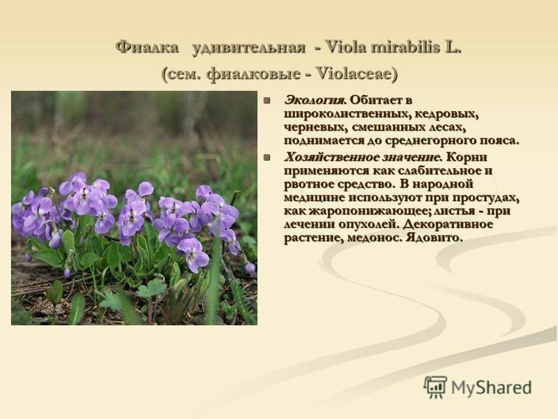 Фиалка удивительная - Viola mirabilis L. (сем. фиалковые - Violaceae) Фиалка удивительная - Viola mirabilis L. (сем. фиалковые - Violaceae) Экология. Обитает в широколиственных, кедровых, черневых, смешанных лесах, поднимается до среднегорного пояса.
