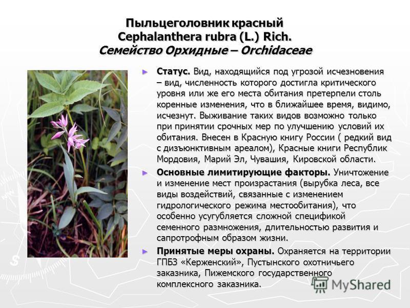 Пыльцеголовник красный Cephalanthera rubra (L.) Rich. Семейство Орхидные – Orchidaceae Статус. Вид, находящийся под угрозой исчезновения – вид, численность которого достигла критического уровня или же его места обитания претерпели столь коренные изме