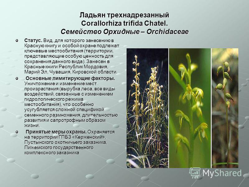 Ладьян трехнадрезанный Corallorhiza trifida Chatel. Семейство Орхидные – Orchidaceae Статус. Вид, для которого занесению в Красную книгу и особой охране подлежат ключевые местообитания (территории, представляющие особую ценность для сохранения данног