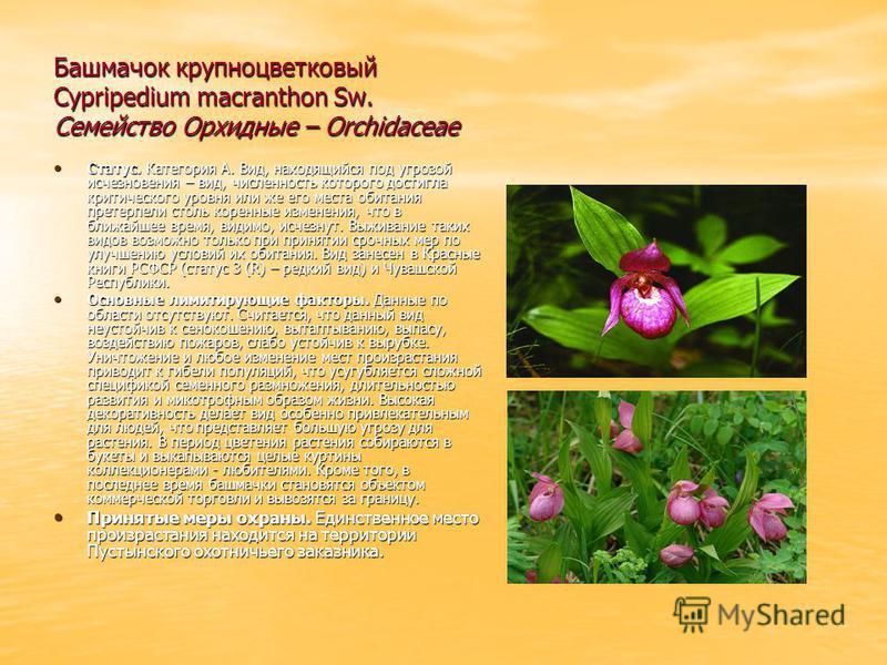 Башмачок крупноцветковый Cypripedium macranthon Sw. Семейство Орхидные – Orchidaceae Статус. Категория А. Вид, находящийся под угрозой исчезновения – вид, численность которого достигла критического уровня или же его места обитания претерпели столь ко
