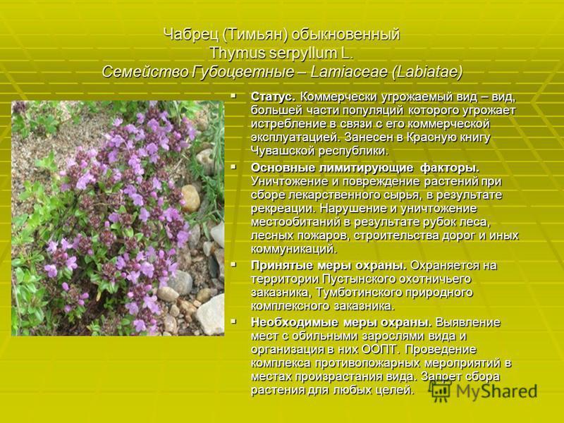 Чабрец (Тимьян) обыкновенный Thymus serpyllum L. Семейство Губоцветные – Lamiaceae (Labiatae) Статус. Коммерчески угрожаемый вид – вид, большей части популяций которого угрожает истребление в связи с его коммерческой эксплуатацией. Занесен в Красную
