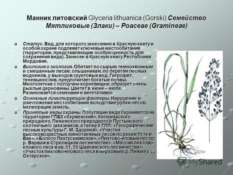 Манник литовский Glyceria lithuanica (Gorski) Семейство Мятликовые (Злаки) – Poaceae (Gramineae) Статус. Вид, для которого занесению в Красную книгу и особой охране подлежат ключевые местообитания (территории, представляющие особую ценность для сохра