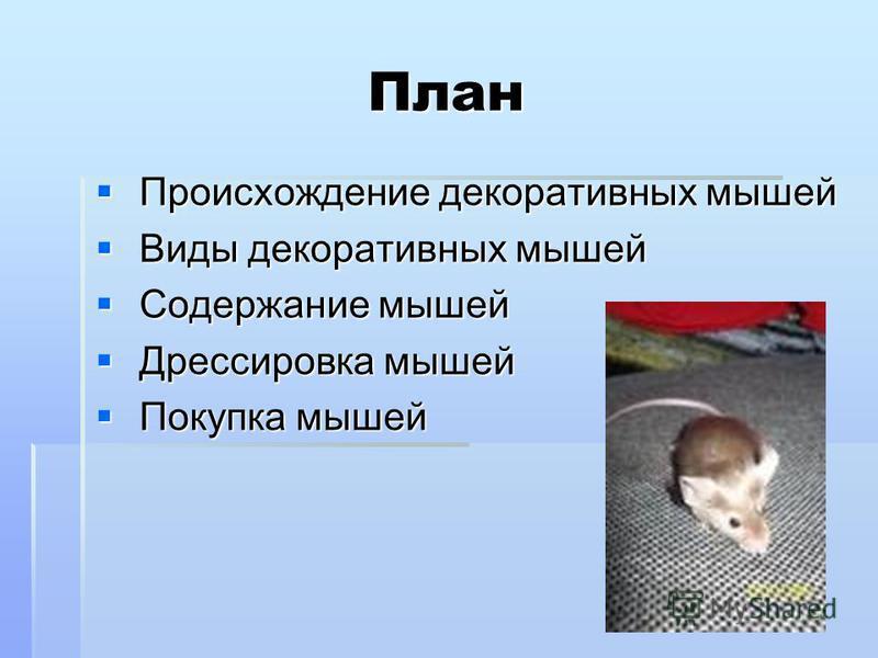 План Происхождение декоративных мышей Происхождение декоративных мышей Виды декоративных мышей Виды декоративных мышей Содержание мышей Содержание мышей Дрессировка мышей Дрессировка мышей Покупка мышей Покупка мышей
