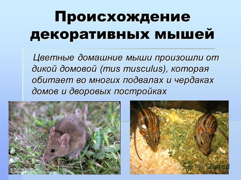 Происхождение декоративных мышей Цветные домашние мыши произошли от дикой домовой (mus musculus), которая обитает во многих подвалах и чердаках домов и дворовых постройках Цветные домашние мыши произошли от дикой домовой (mus musculus), которая обита