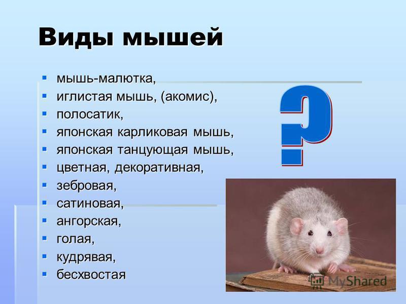 Виды мышей мышь-малютка, мышь-малютка, иглистая мышь, (акомис), иглистая мышь, (акомис), полосатик, полосатик, японская карликовая мышь, японская карликовая мышь, японская танцующая мышь, японская танцующая мышь, цветная, декоративная, цветная, декор