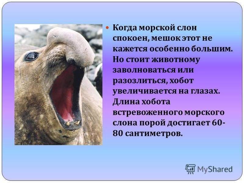 Когда морской слон спокоен, мешок этот не кажется особенно большим. Но стоит животному заволноваться или разозлиться, хобот увеличивается на глазах. Длина хобота встревоженного морского слона порой достигает 60- 80 сантиметров.