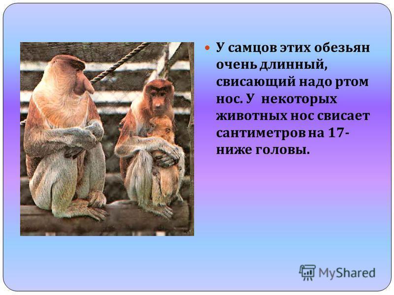 У самцов этих обезьян очень длинный, свисающий надо ртом нос. У некоторых животных нос свисает сантиметров на 17- ниже головы.