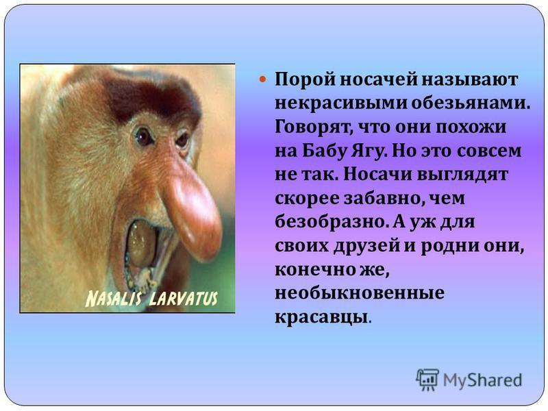 Порой носачей называют некрасивыми обезьянами. Говорят, что они похожи на Бабу Ягу. Но это совсем не так. Носачи выглядят скорее забавно, чем безобразно. А уж для своих друзей и родни они, конечно же, необыкновенные красавцы.