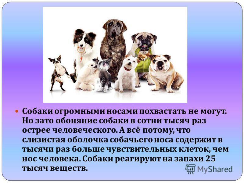 Собаки огромными носами похвастать не могут. Но зато обоняние собаки в сотни тысяч раз острее человеческого. А всё потому, что слизистая оболочка собачьего носа содержит в тысячи раз больше чувствительных клеток, чем нос человека. Собаки реагируют на