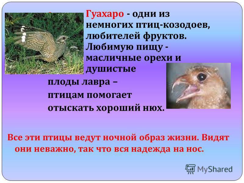 Гуахаро - одни из немногих птиц - козодоев, любителей фруктов. Любимую пищу - масличные орехи и душистые плоды лавра – птицам помогает отыскать хороший нюх. Все эти птицы ведут ночной образ жизни. Видят они неважно, так что вся надежда на нос.
