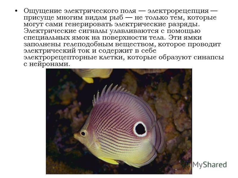 Ощущение электрического поля электро рецепция присуще многим видам рыб не только тем, которые могут сами генерировать электрические разряды. Электрические сигналы улавливаются с помощью специальных ямок на поверхности тела. Эти ямки заполнены гелепод