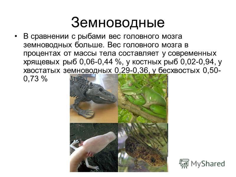 Земноводные В сравнении с рыбами вес головного мозга земноводных больше. Вес головного мозга в процентах от массы тела составляет у современных хрящевых рыб 0,06-0,44 %, у костных рыб 0,02-0,94, у хвостатых земноводных 0,29-0,36, у бесхвостых 0,50- 0