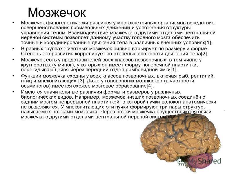 Мозжечок Мозжечок филогенетически развился у многоклеточных организмов вследствие совершенствования произвольных движений и усложнения структуры управления телом. Взаимодействие мозжечка с другими отделами центральной нервной системы позволяет данном