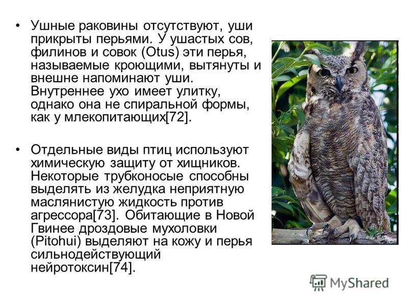 Ушные раковины отсутствуют, уши прикрыты перьями. У ушастых сов, филинов и совок (Otus) эти перья, называемые кроющими, вытянуты и внешне напоминают уши. Внутреннее ухо имеет улитку, однако она не спиральной формы, как у млекопитающих[72]. Отдельные