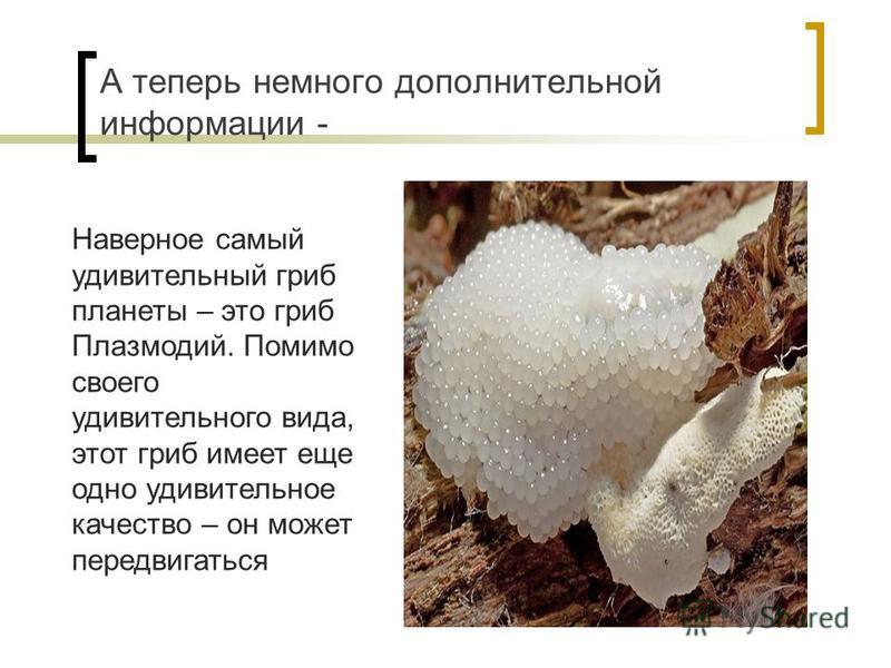 А теперь немного дополнительной информации - Наверное самый удивительный гриб планеты – это гриб Плазмодий. Помимо своего удивительного вида, этот гриб имеет еще одно удивительное качество – он может передвигаться