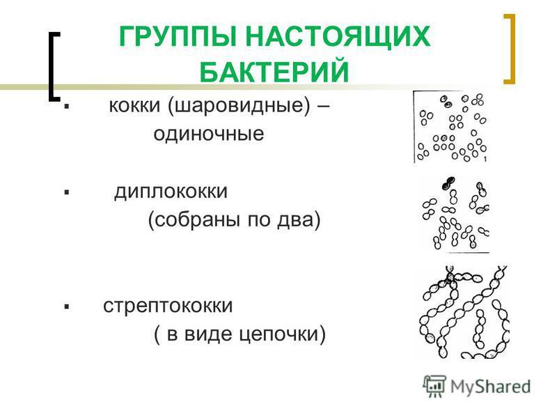 ГРУППЫ НАСТОЯЩИХ БАКТЕРИЙ кокки (шаровидные) – одиночные диплококки (собраны по два) стрептококки ( в виде цепочки)