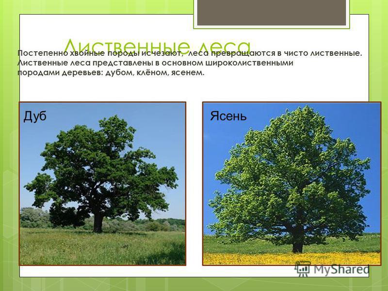 Лиственные леса Постепенно хвойные породы исчезают, леса превращаются в чисто лиственные. Лиственные леса представлены в основном широколиственными породами деревьев: дубом, клёном, ясенем. Дуб Ясень