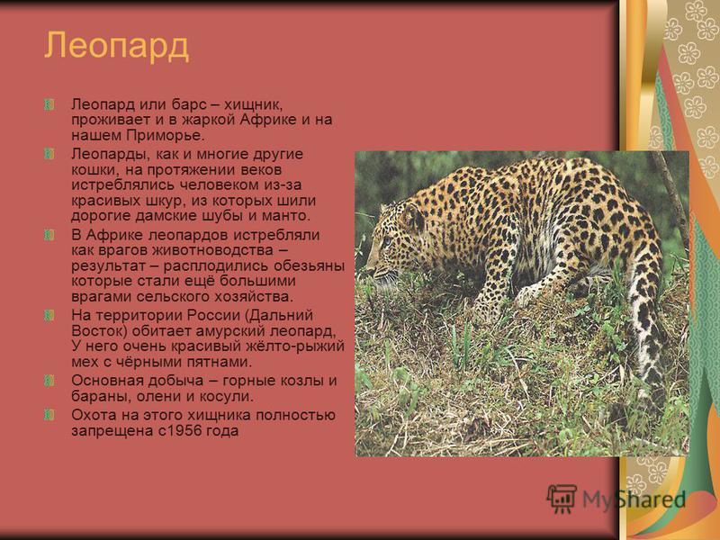 Леопард Леопард или барс – хищник, проживает и в жаркой Африке и на нашем Приморье. Леопарды, как и многие другие кошки, на протяжении веков истреблялись человеком из-за красивых шкур, из которых шили дорогие дамские шубы и манто. В Африке леопардов