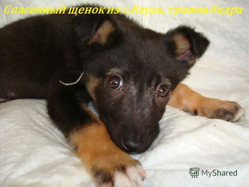 Спасенный щенок из с.Кеуль, травма бедра