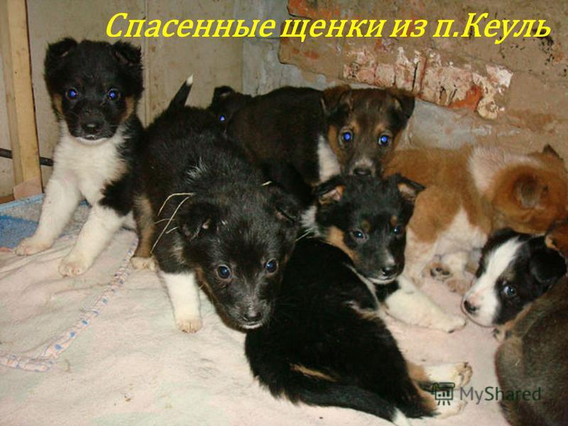 Спасенные щенки из п.Кеуль