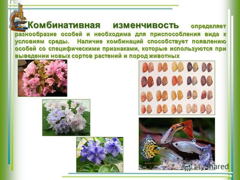 Комбинативная изменчивость определяет разнообразие особей и необходима для приспособления вида к условиям среды. Наличие комбинаций способствует появлению особей со специфическими признаками, которые используются при выведении новых сортов растений и