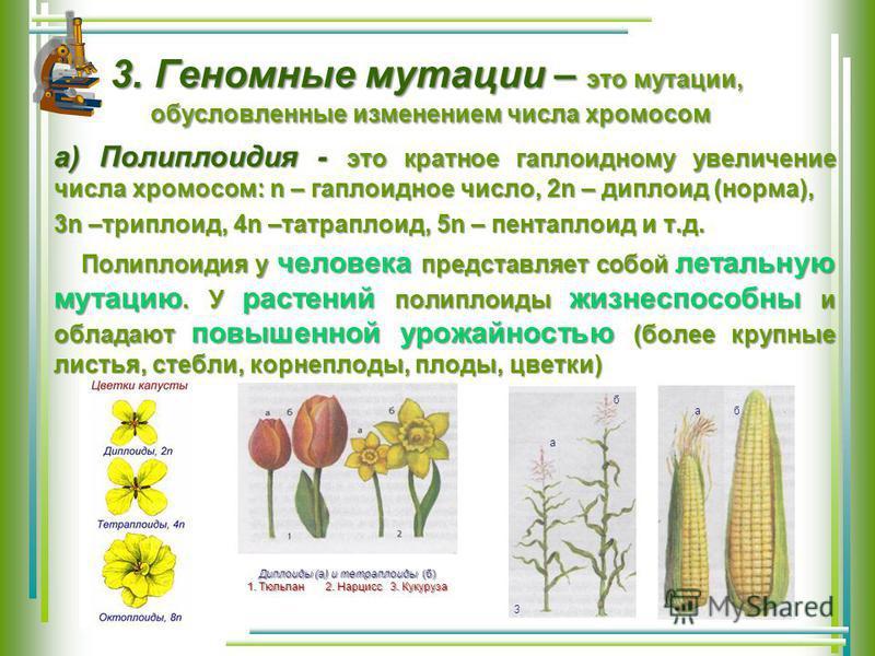3. Геномные мутации – это мутации, 3. Геномные мутации – это мутации, обусловленные изменением числа хромосом а) Полиплоидия - это кратное гаплоидному увеличение числа хромосом: n – гаплоидное число, 2n – диплоид (норма), 3n –триплоид, 4n –тетраплоид