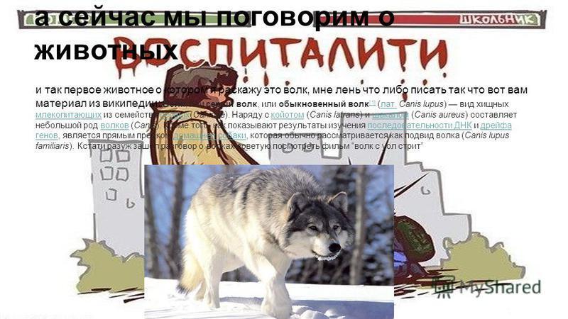 а сейчас мы поговорим о животных ии иит и так первое животное о котором я расскажу это волк, мне лень что либо писать так что вот вам материал из википедии: Волк, или серый волк, или обыкновенный волк [1] (лат. Canis lupus) вид хищных млекопитающих и