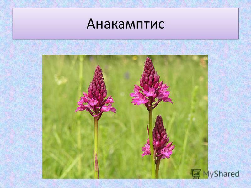 Анакамптис