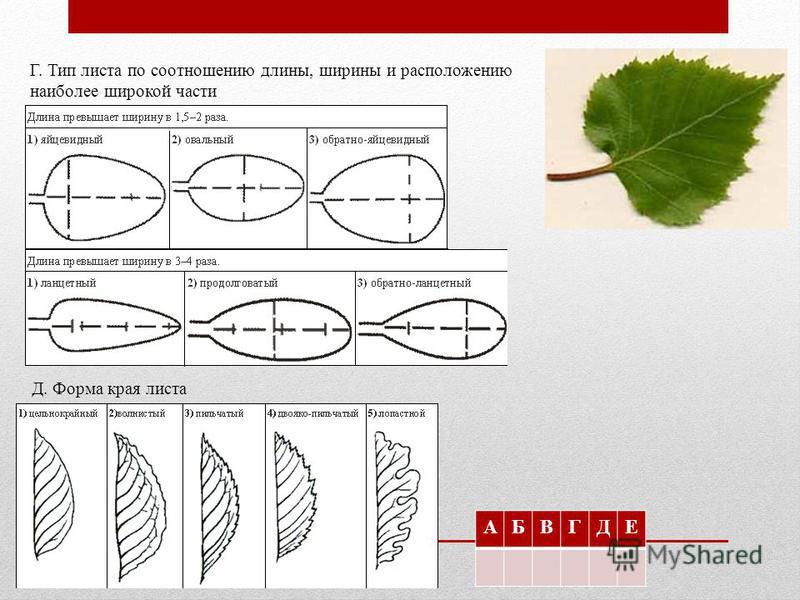 Г. Тип листа по соотношению длины, ширины и расположению наиболее широкой части Д. Форма края листа АБВГДЕ