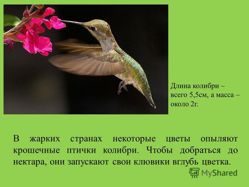 В жарких странах некоторые цветы опыляют крошечные птички колибри. Чтобы добраться до нектара, они запускают свои клювики вглубь цветка. Длина колибри – всего 5,5 см, а масса – около 2 г.