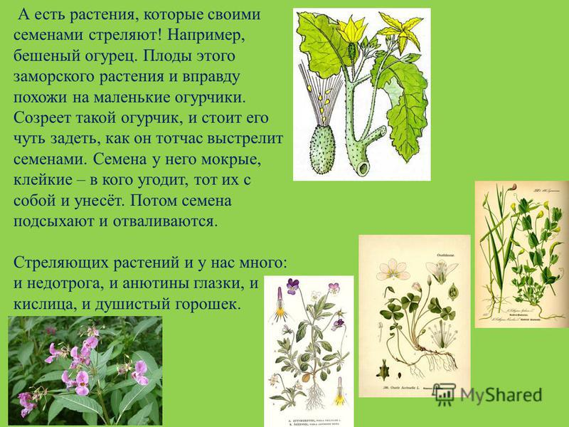 А есть растения, которые своими семенами стреляют! Например, бешеный огурец. Плоды этого заморского растения и вправду похожи на маленькие огурчики. Созреет такой огурчик, и стоит его чуть задеть, как он тотчас выстрелит семенами. Семена у него мокры