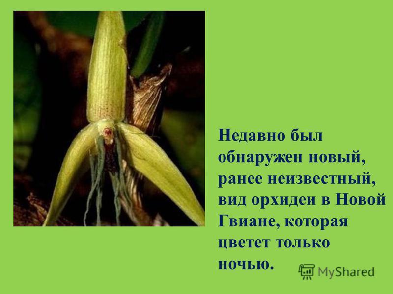 Недавно был обнаружен новый, ранее неизвестный, вид орхидеи в Новой Гвиане, которая цветет только ночью.