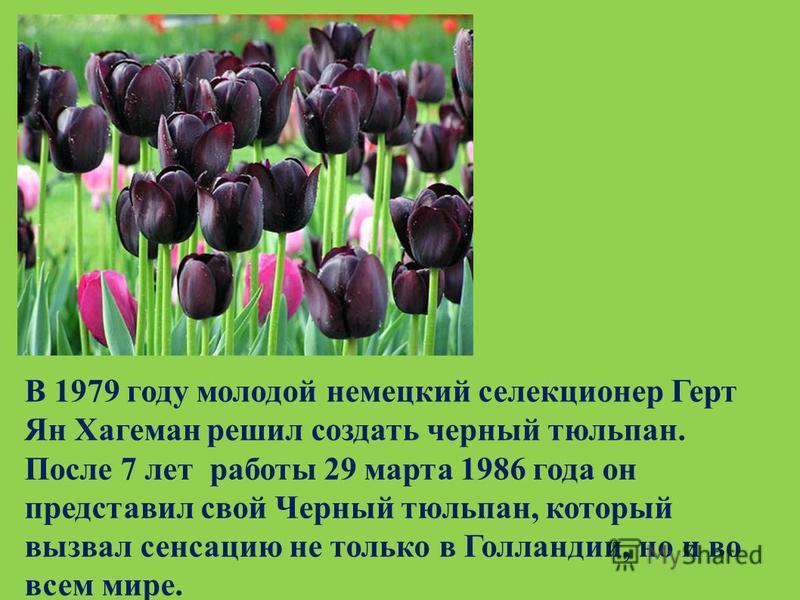 В 1979 году молодой немецкий селекционер Герт Ян Хагеман решил создать черный тюльпан. После 7 лет работы 29 марта 1986 года он представил свой Черный тюльпан, который вызвал сенсацию не только в Голландии, но и во всем мире.