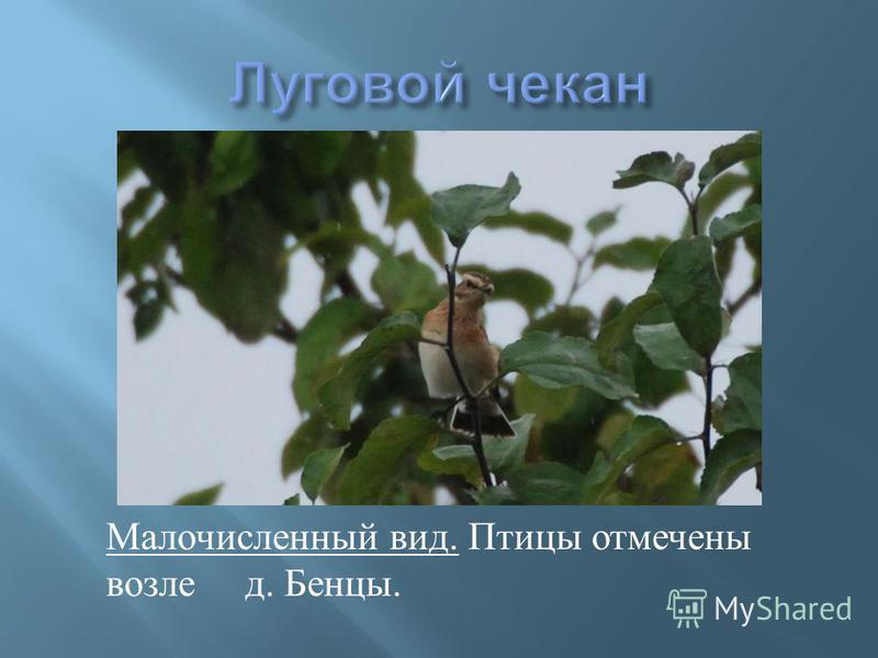 Малочисленный вид. Птицы отмечены возле д. Бенцы.