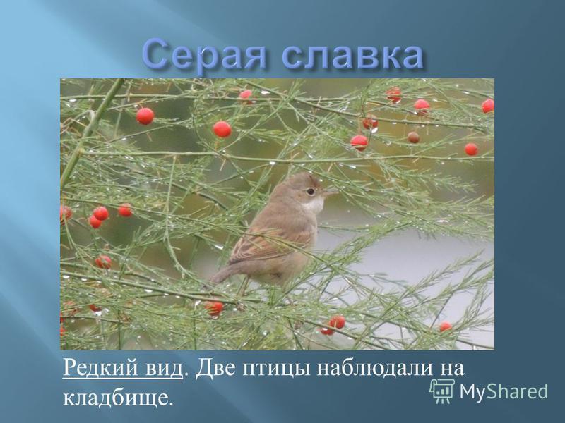Редкий вид. Две птицы наблюдали на кладбище.