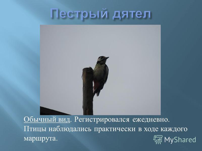 Обычный вид. Регистрировался ежедневно. Птицы наблюдались практически в ходе каждого маршрута.
