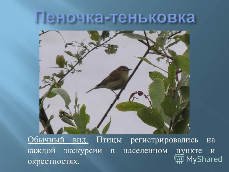 Обычный вид. Птицы регистрировались на каждой экскурсии в населенном пункте и окрестностях.