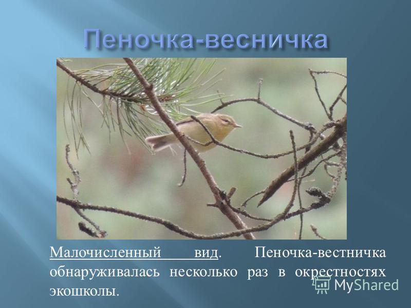 Малочисленный вид. Пеночка - вестничка обнаруживалась несколько раз в окрестностях экошколы.