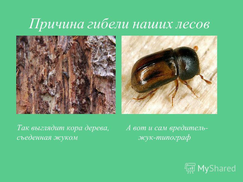 Причина гибели наших лесов Так выглядит кора дерева, А вот и сам вредитель- съеденная жуком жук-типограф