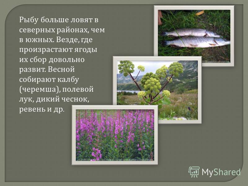Рыбу больше ловят в северных районах, чем в южных. Везде, где произрастают ягоды их сбор довольно развит. Весной собирают колбу ( черемша ), полевой лук, дикий чеснок, ревень и др.
