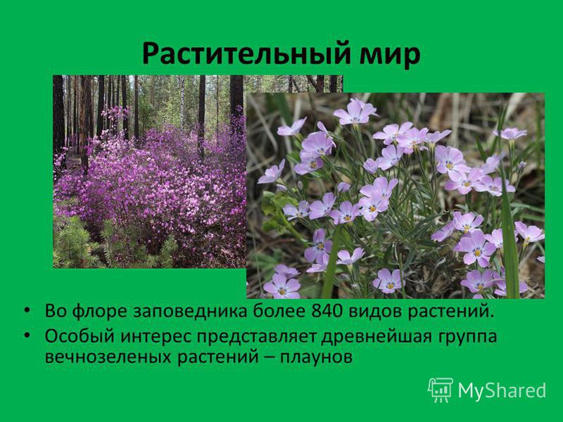 Растительный мир Во флоре заповедника более 840 видов растений. Особый интерес представляет древнейшая группа вечнозеленых растений – плаунов
