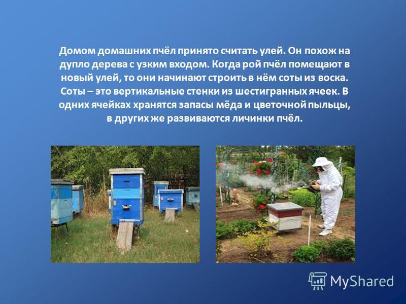Домом домашних пчёл принято считать улей. Он похож на дупло дерева с узким входом. Когда рой пчёл помещают в новый улей, то они начинают строить в нём соты из воска. Соты – это вертикальные стенки из шестигранных ячеек. В одних ячейках хранятся запас